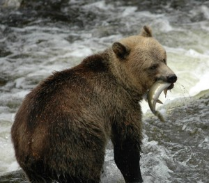 grizzly caught salmon