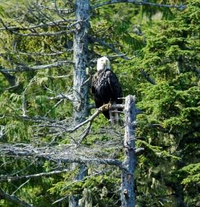 bald eagle waiting