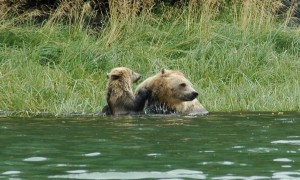 grizzly mother and cub playing