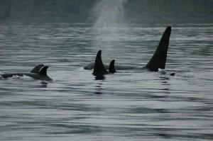 Orca pod resting