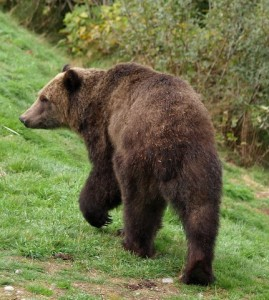 Grizzly / Brown Bear