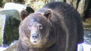 grizzly watching camera