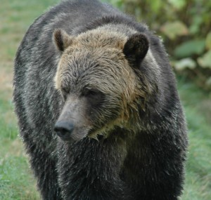 large male grizzly knight inlet