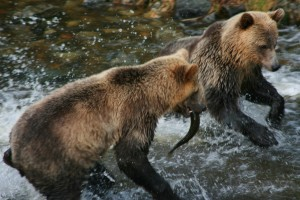 Grizzly siblings fishing