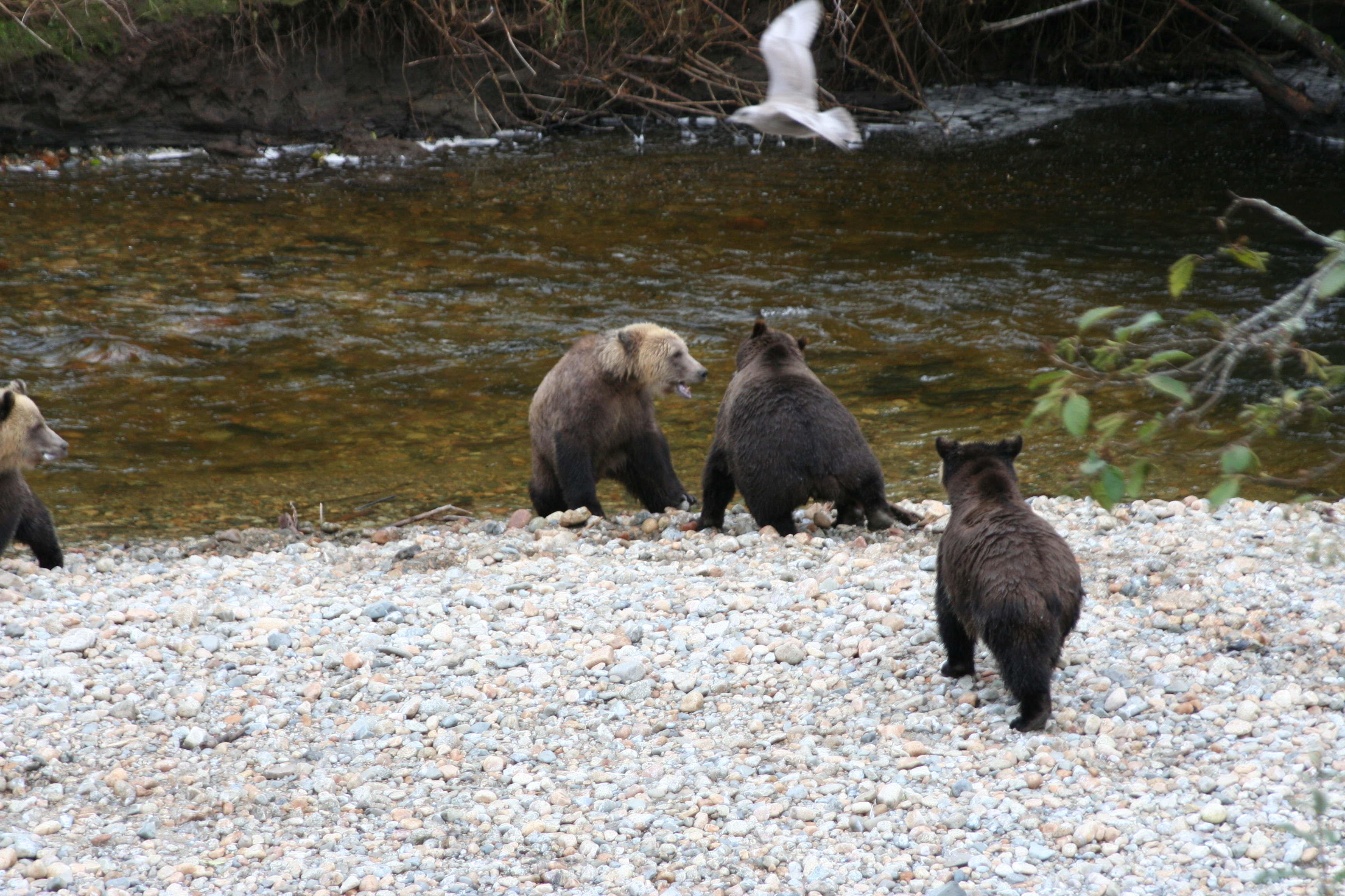 the grizzly bear lodge Welcome to grizzly bear lodge we offer grizzly bear watching, whale watching, grizzly bear tours and wildlife adventure tours.