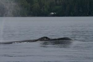 July 23 Humpback whale