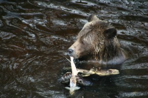 eating a salmon