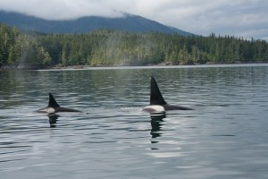 Killer Whales (orca)