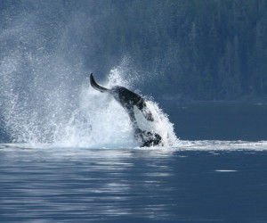 tail slapping killer whale