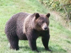 grizzly on walk way