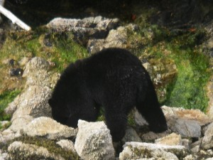 Black Bear Headless