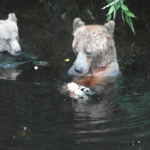 grizzly bear examines salmon