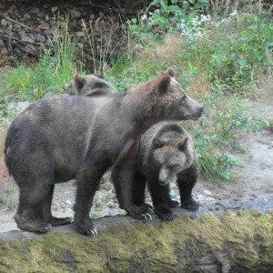 Twin grizzlies