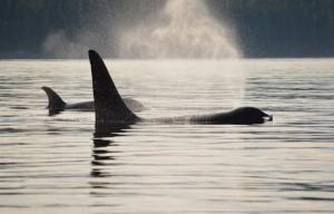 orca posing