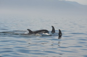 killer whale fins