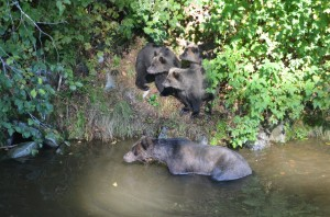 family of grizzlies at river