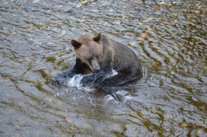 grizzly misses salmon
