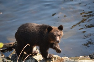 grizzly cub walking river