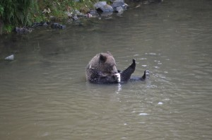 Grizzly Eating 2