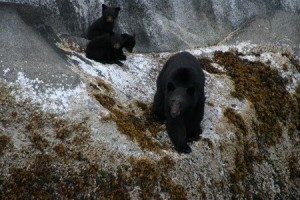 black bear family on rocks
