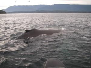humpback near boat