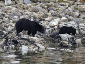 black bear follows cub