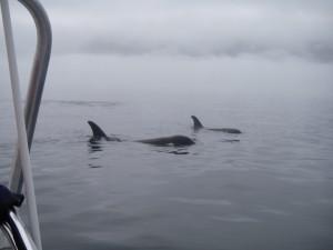 orca comong