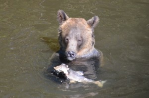grizzly tasting salmon