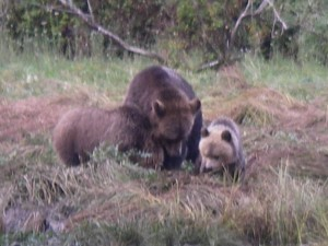 grizzly cubs size matters