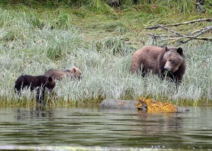 grazing grizzly cubs