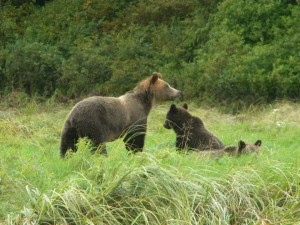 grizzly and second year cubs