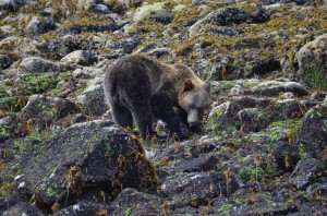 grizzly eating seaweed