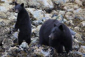 black bear alert