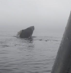 close breachinf whale