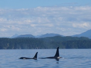 pair of killer whales