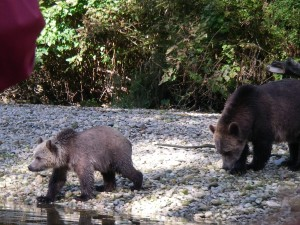 grizzly close on river