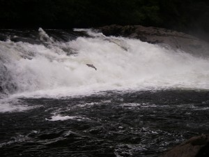 salmon jumping river falls