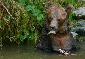 salmon tail in grizzly mouth