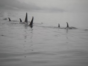 more orca