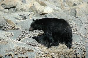 wet black bear