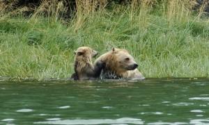 grizzly teaching cub