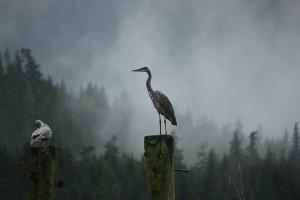 heron on piling