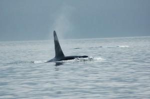 single orca