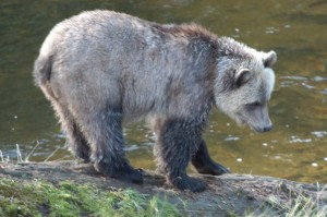 timid grizzly cub