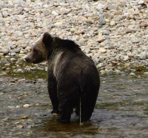 male grizzly peeing