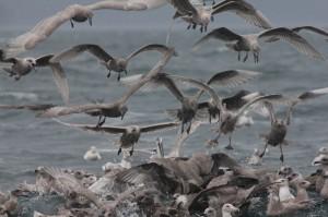 seagulls on herring ball