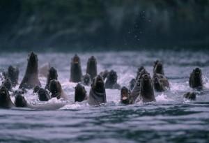 sea lions charging
