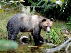 grizzly salmon under belly