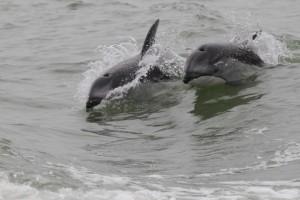 dolphins speeding