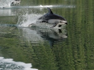 fast dolphin